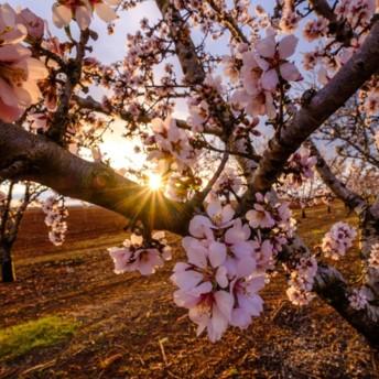 La Compagnie des Amandes, François Doucet Confiseur et La Melba ont planté des arbres ces trois dernières années afin d'approvisionner l'industrie en amandes françaises. Crédit photo Adobe Marina.