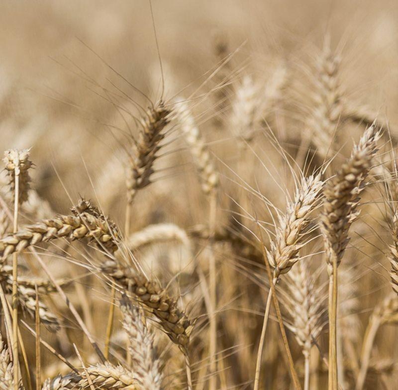 Dans le prolongement de sa démarche agro-écologique Harmony, le groupe Mondelez s'appuie sur sa filière blé durable, dont fait partie le céréalier Soufflet, pour tracer les biscuits Lu via la technologie blockchain.