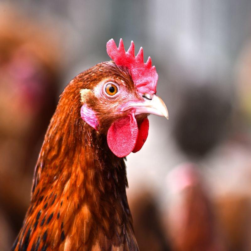 Le classement BBFAW, qui évalue les engagements mis en œuvre par les entreprises en termes de bien-être animal, fait ressortir une progression des grands groupes alimentaires. Sept entreprises françaises ont augmenté d'un niveau. Crédit : Adobe Stock.