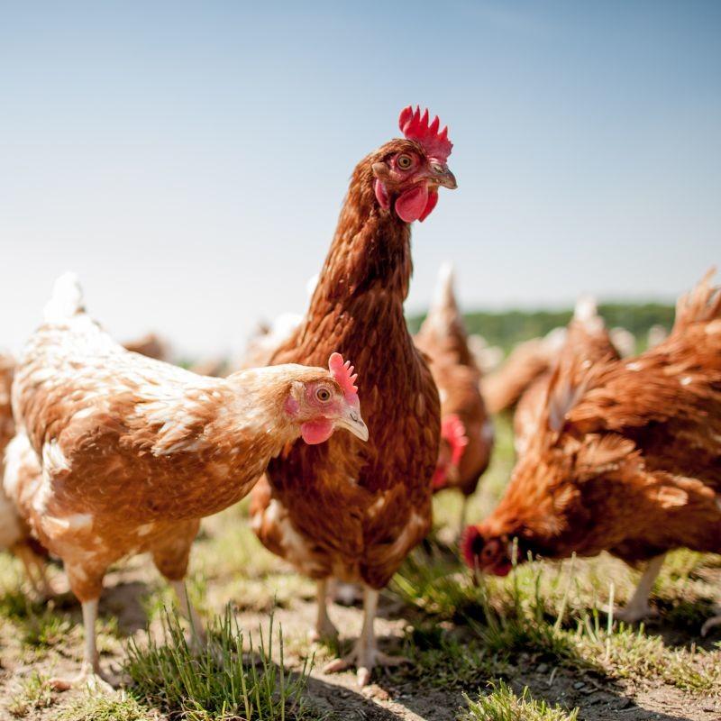 KFC France a mis en œuvre des indicateurs évaluant le bien-être des poulets de ses fournisseurs. Tandis que les enseignes Lidl et Leclerc se sont engagées en faveur du référentiel Better Chicken Commitment. Crédit : Adobe Stock.