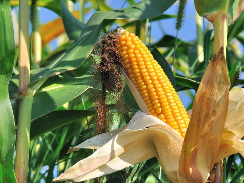 La Répression des fraudes relève dans ses dernières enquêtes des approximations quant au respect de la réglementation sur l'étiquetage des OGM. Les autorités pointent également du doigt de nouvelles matrices à risque. Crédit : Adobe Stock.