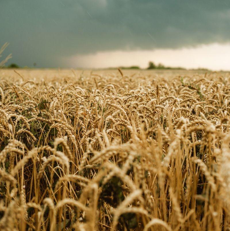 La moisson 2020 s'avère être la troisième pire récolte de blé tendre depuis 25 ans. Les conditions climatiques ont limité les surfaces emblavées et ont diminué les rendements. Crédit photo Adobe  tumana_net