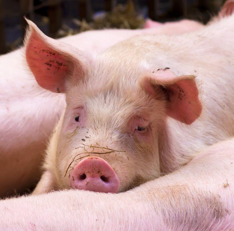 La filière porc a été lourdement impactée par la crise du coronavirus. Les cours de la viande baissent, alors que les incertitudes quant à l'approvisionnement en céréales pourraient aussi fragiliser les éleveurs.  Crédit photo Adobe ursule