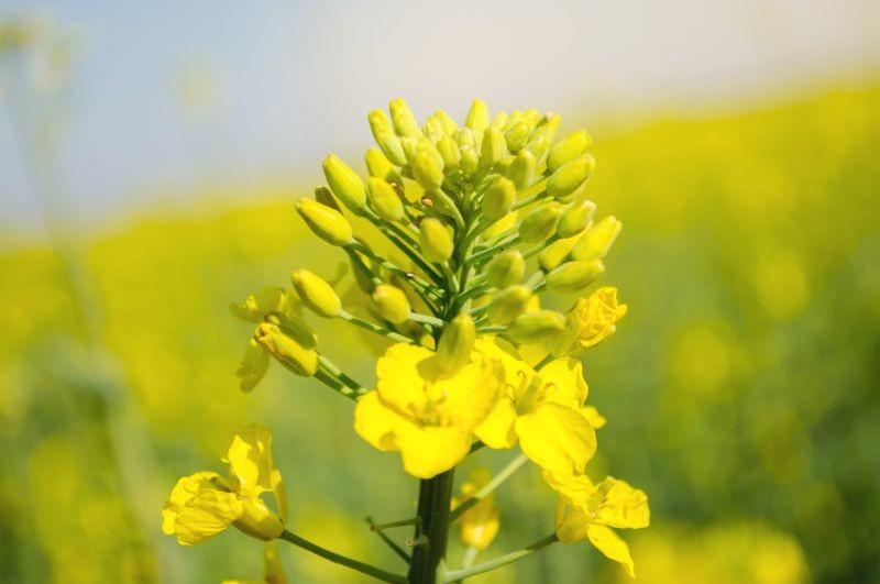 DSM et Avril ont annoncé la création d'un partenariat pour produire une protéine de colza. Le process a été pensé par DSM et la solution sera produite d'ici 2022 sur le site d'Avril à Dieppe. Crédit photo Adobe Андрей Яланский
