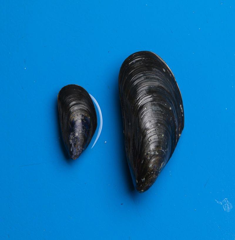 Mytilimer (La Cancalaise) a breveté un nouveau process pour valoriser les moules sous-taille en alimentation animale. Crédit photo Maillard