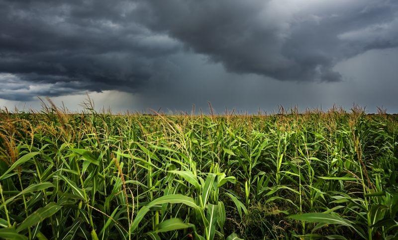 Les nombreuses intempéries qui ont touché la Corn Belt aux États-Unis ont retardé les semis de maïs et ont réduit les surfaces dédiées à cette culture. En conséquence, les cours mondiaux des céréales sont à la hausse. Crédit photo Adobe phant