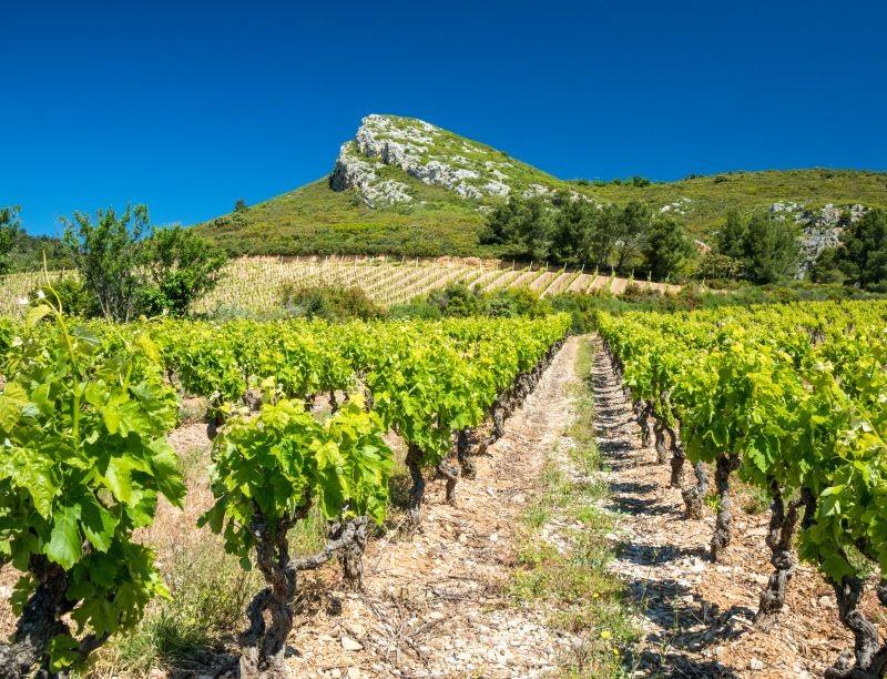Fondé en 1868, le domaine Ollieux Romanis est, avec ses 130 hectares de vignes, l'un des plus grands vignobles privés des Corbières, dans l'Aude.